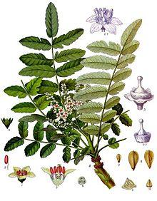 Boswellia_sacra_-_Köhler–s_Medizinal-Pflanzen-022